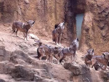 多摩動物園 オオカミ