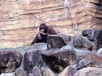 多摩動物園 オラウータン