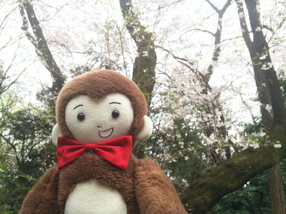 さるのダニエルと桜の花(新宿御苑にて)