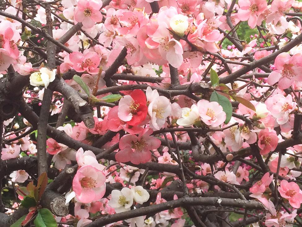 さるのダニエルと紅白のボケの花(新宿御苑にて)