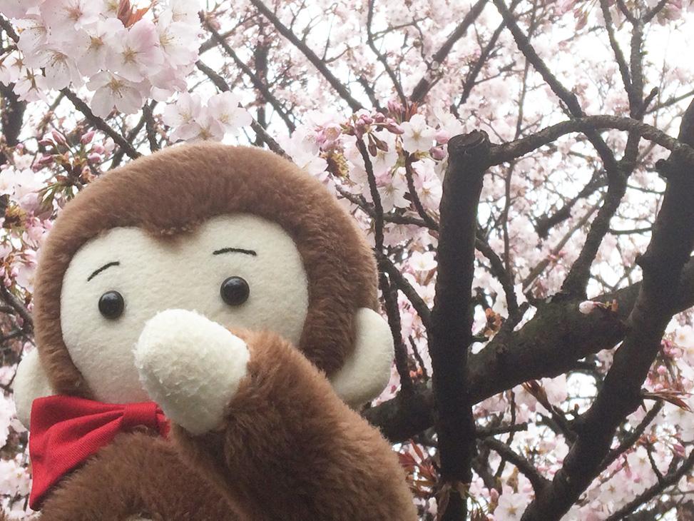 さるのダニエルと桜の花とミツバチ(新宿御苑にて)